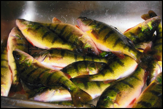 Jumbo perch caught at Balsam Beach Resort near Bemidji, MN.